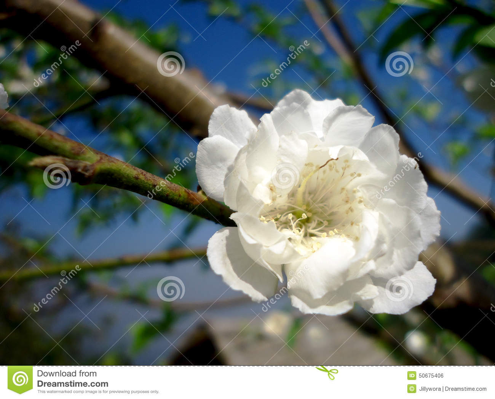 Download 开花 库存照片. 图片 包括有 绿色, 空白, brander, 桃子, 开花 - 50675406