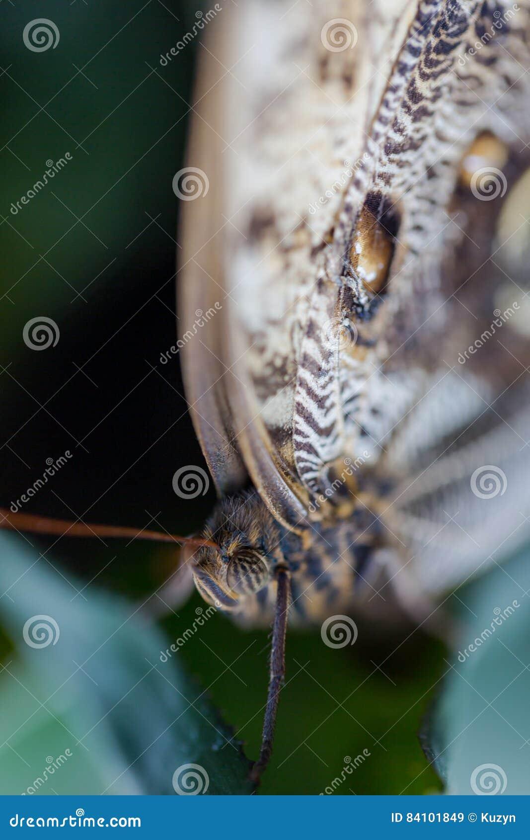 异乎寻常的在充满活力的颜色的蝴蝶极端宏观射击 苍白o