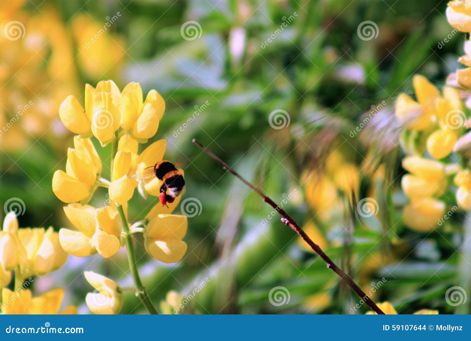 弄糟收获黄色羽扇豆花的蜂