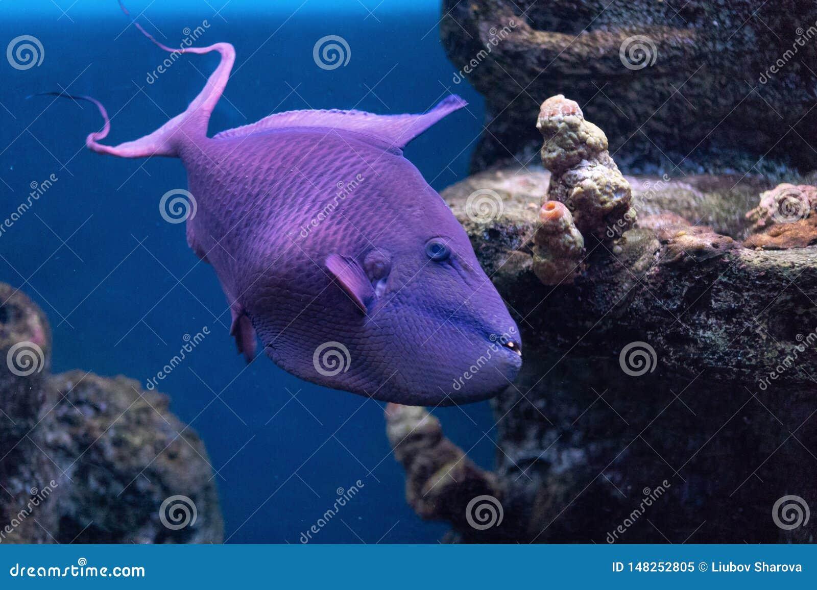 引金鱼Krasnopolye或女王/王后黑色触发器,与强的牙raskrytaya的红被刻凹痕的红色犬齿触发器异乎寻常的英俊的鱼