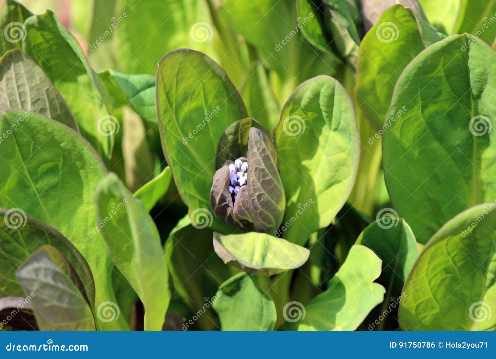 弗吉尼亚会开蓝色钟形花的草床