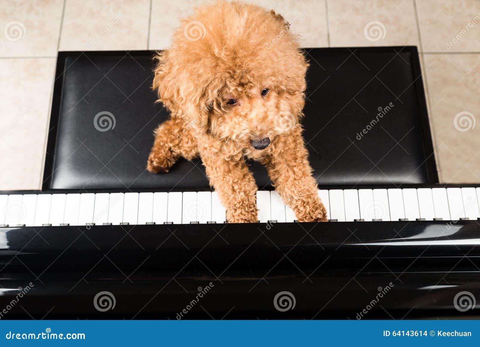 弹挺直大平台钢琴的逗人喜爱的狮子狗的概念