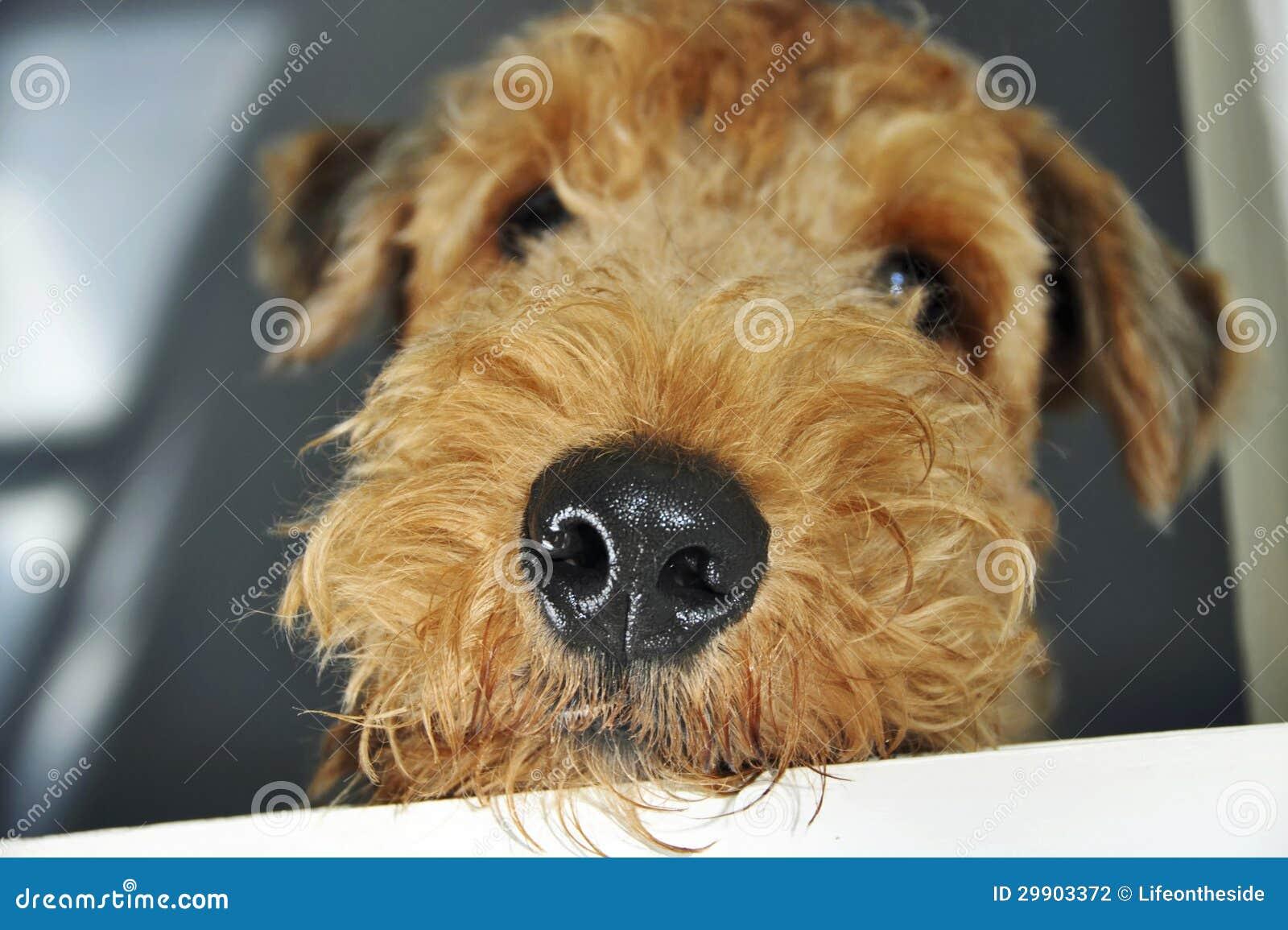 关闭看窗口的宏观湿鼻子爱犬