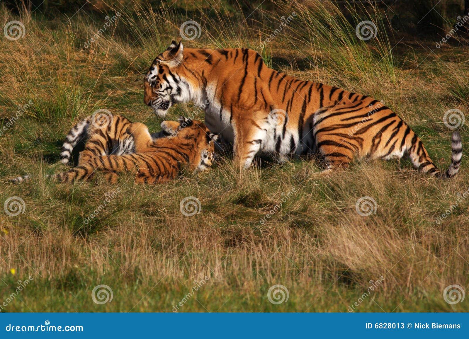 当幼童军西伯利亚老虎