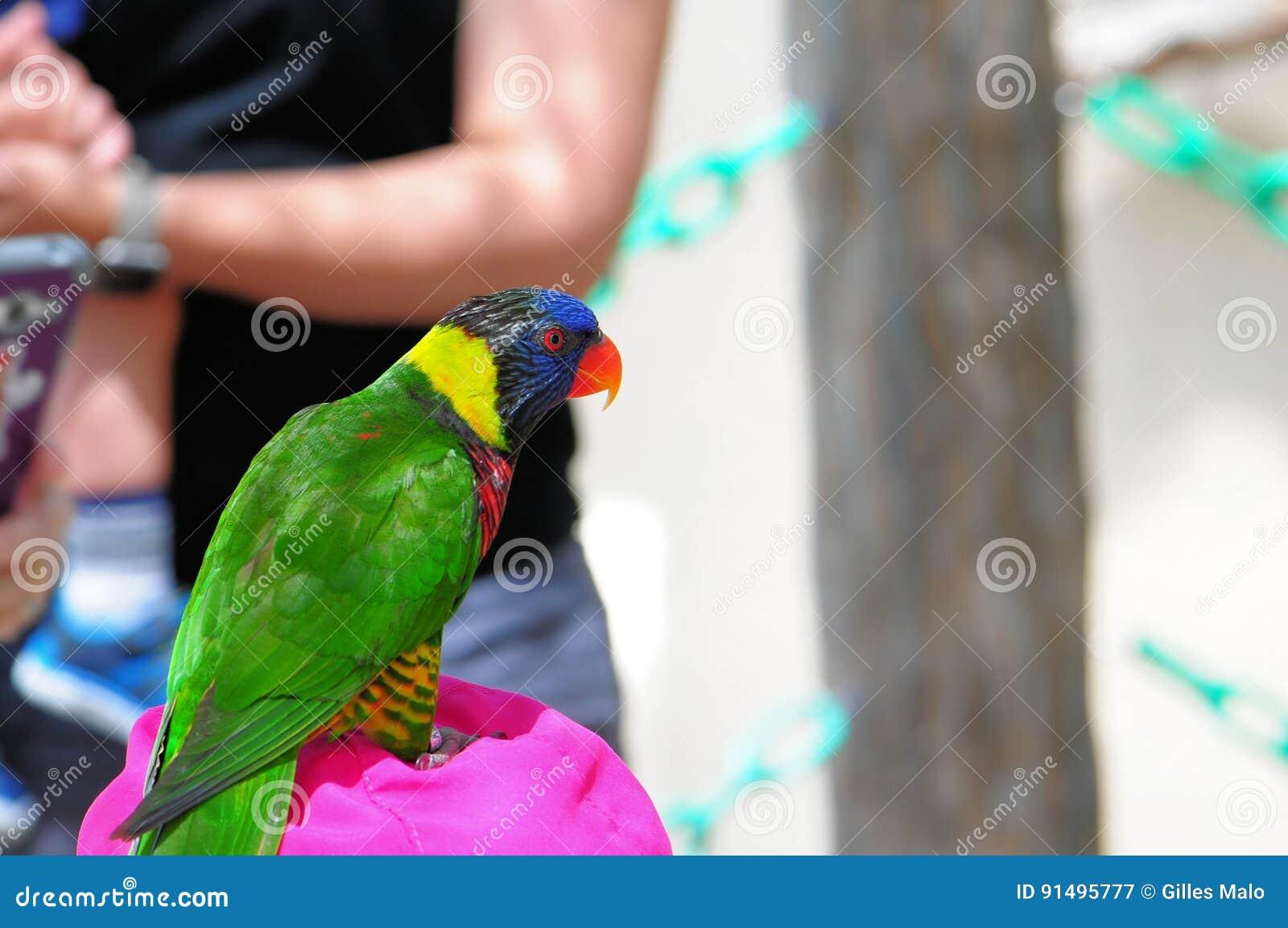 彩虹Lorikeet鸟,佛罗里达