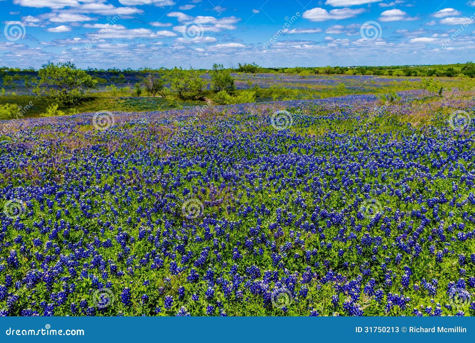 得克萨斯矢车菊一条厚实的毯子的一个美好的广角看法在有蓝天的得克萨斯国家草甸。