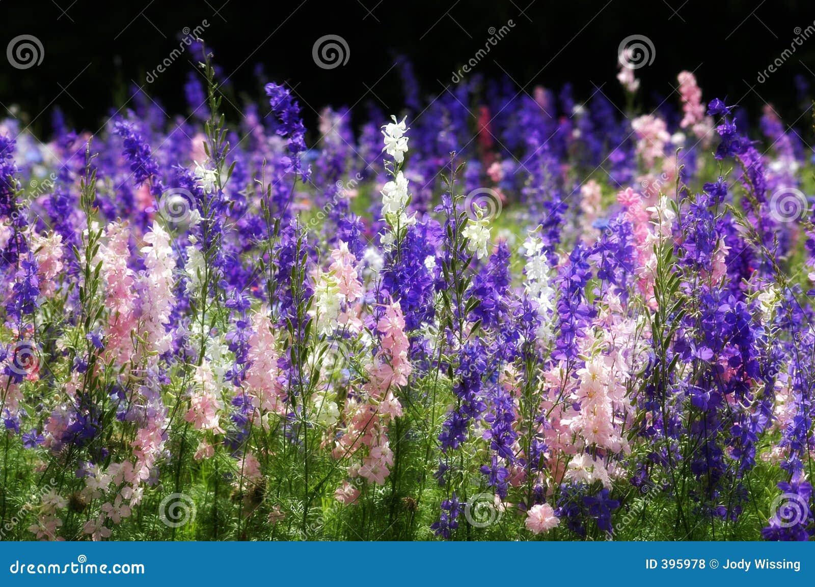 得克萨斯野花
