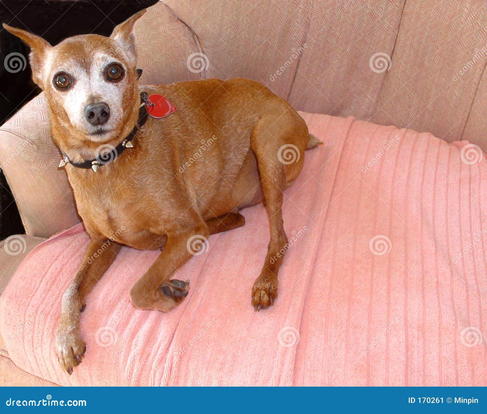 微型短毛猎犬前辈