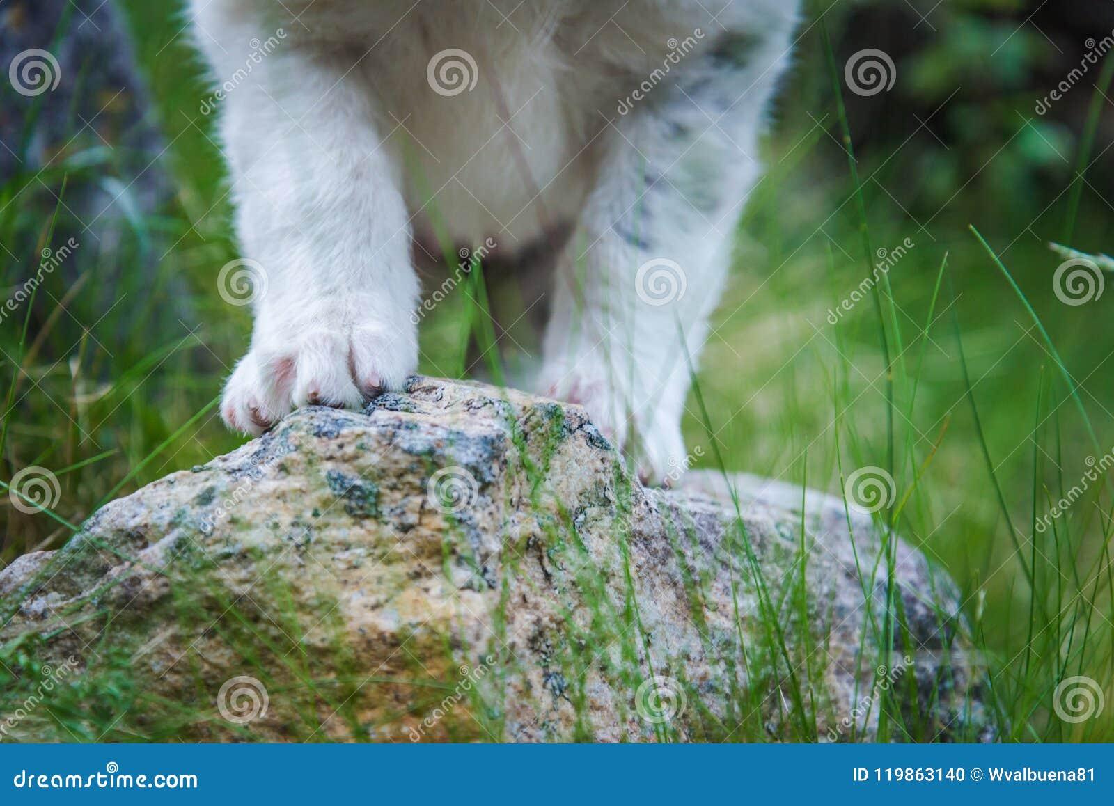 微小的爪子小狗护羊狗