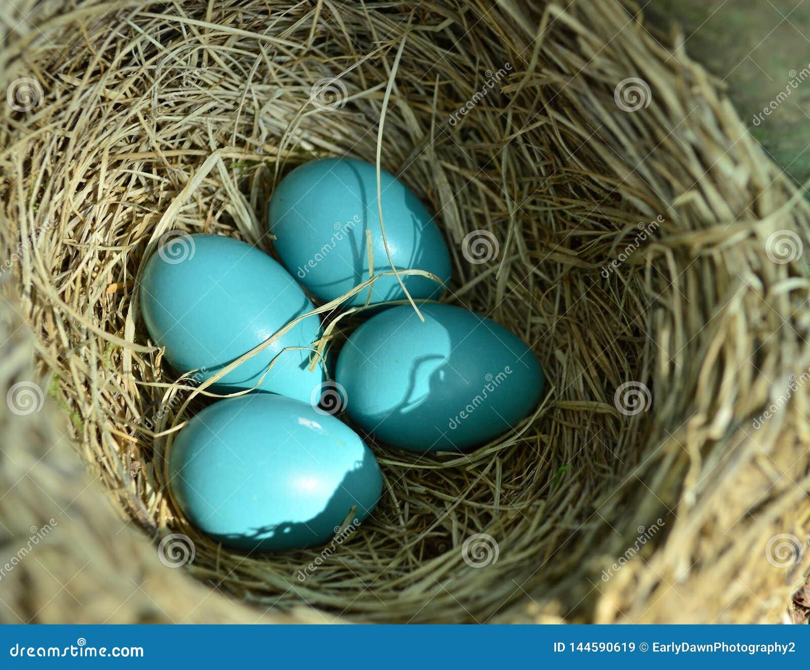 微小的知更鸟筑巢