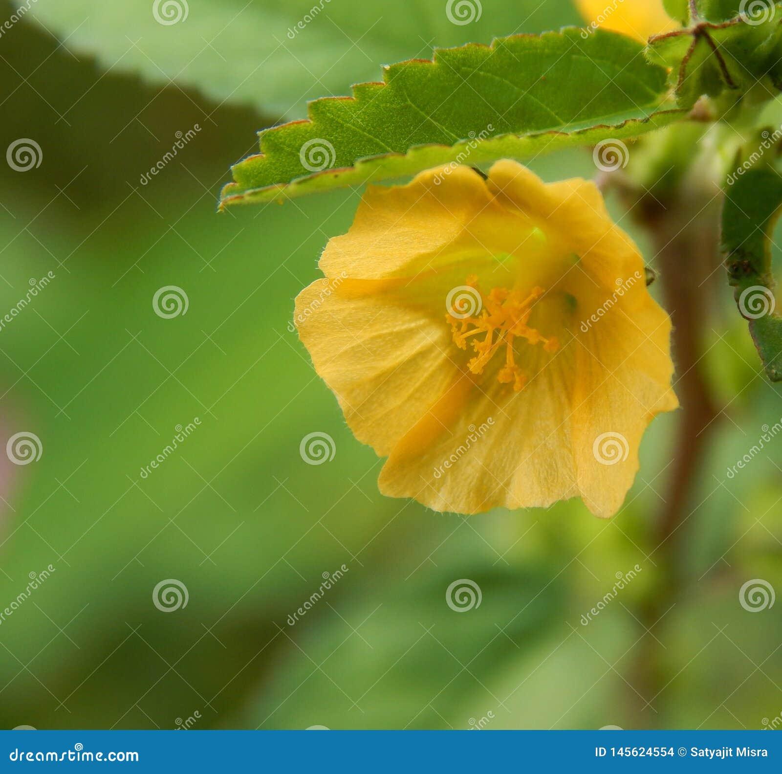 微观点的天鹅绒叶子花或黄色有角的鸦片