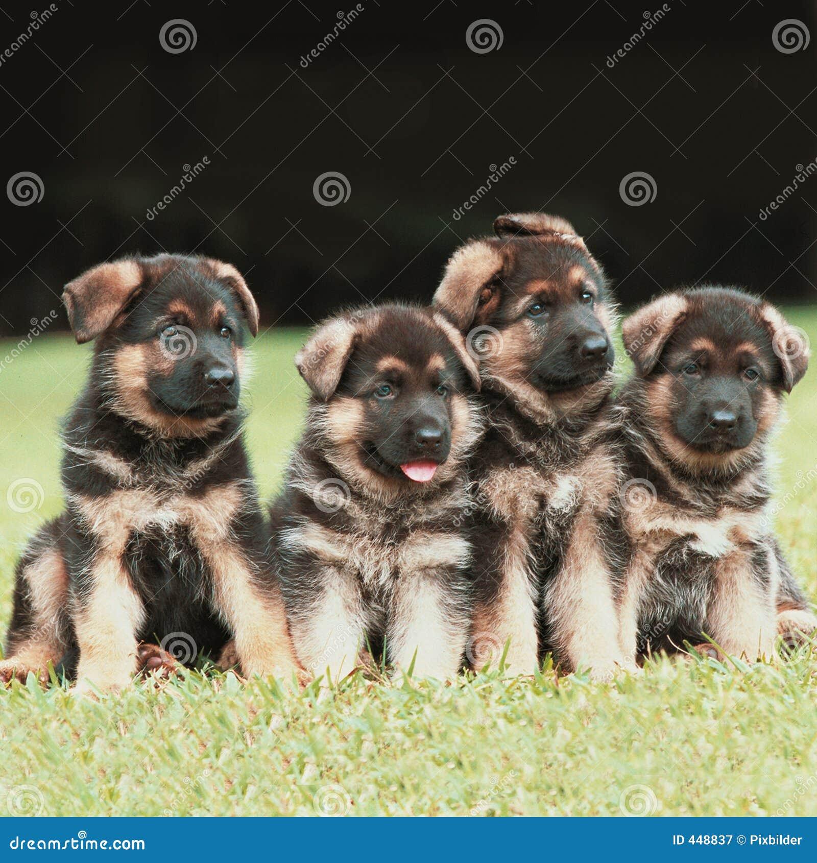 德国小狗牧羊人