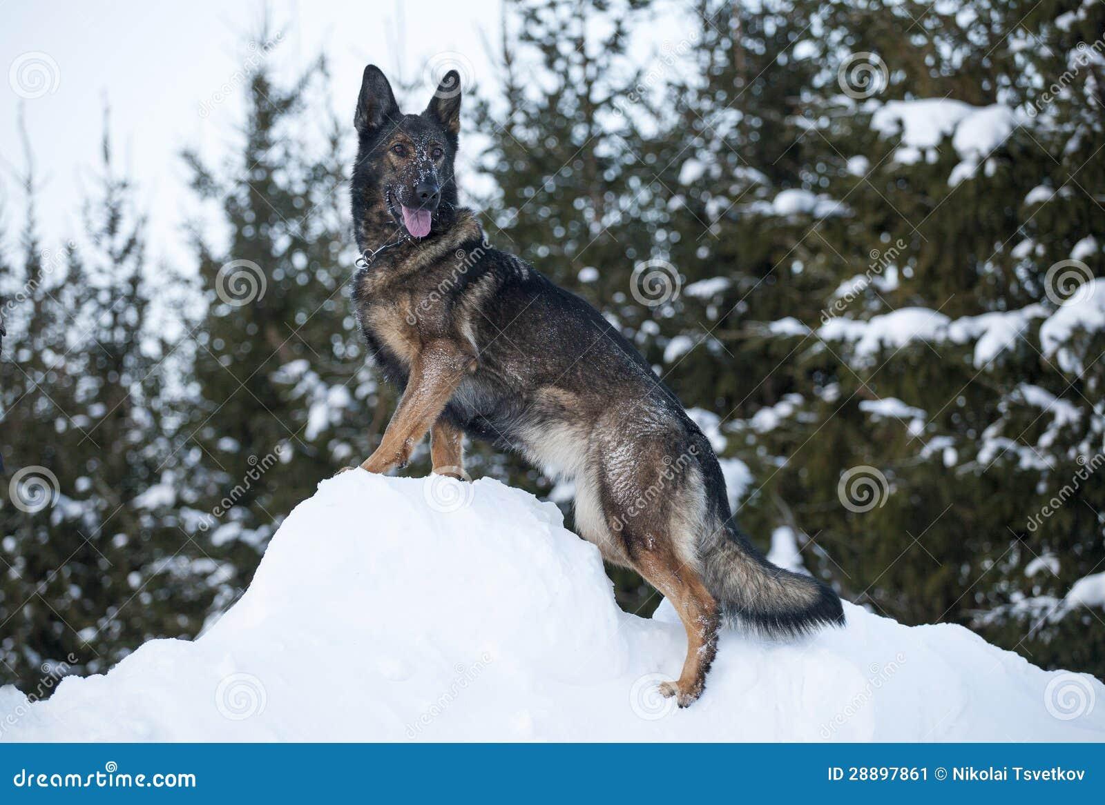 德国护羊狗