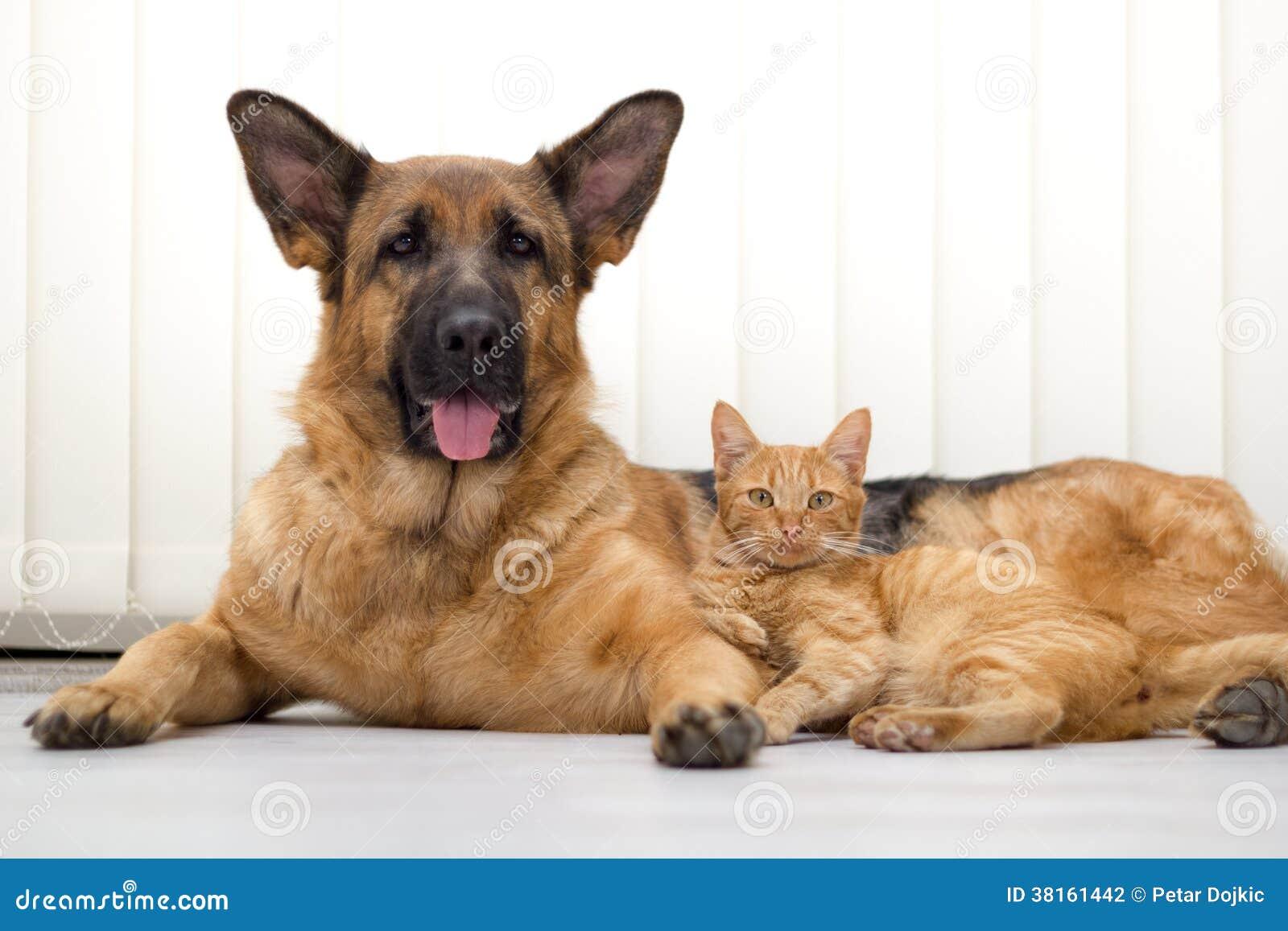 德国牧羊犬一起说谎一起狗和猫的猫和的狗