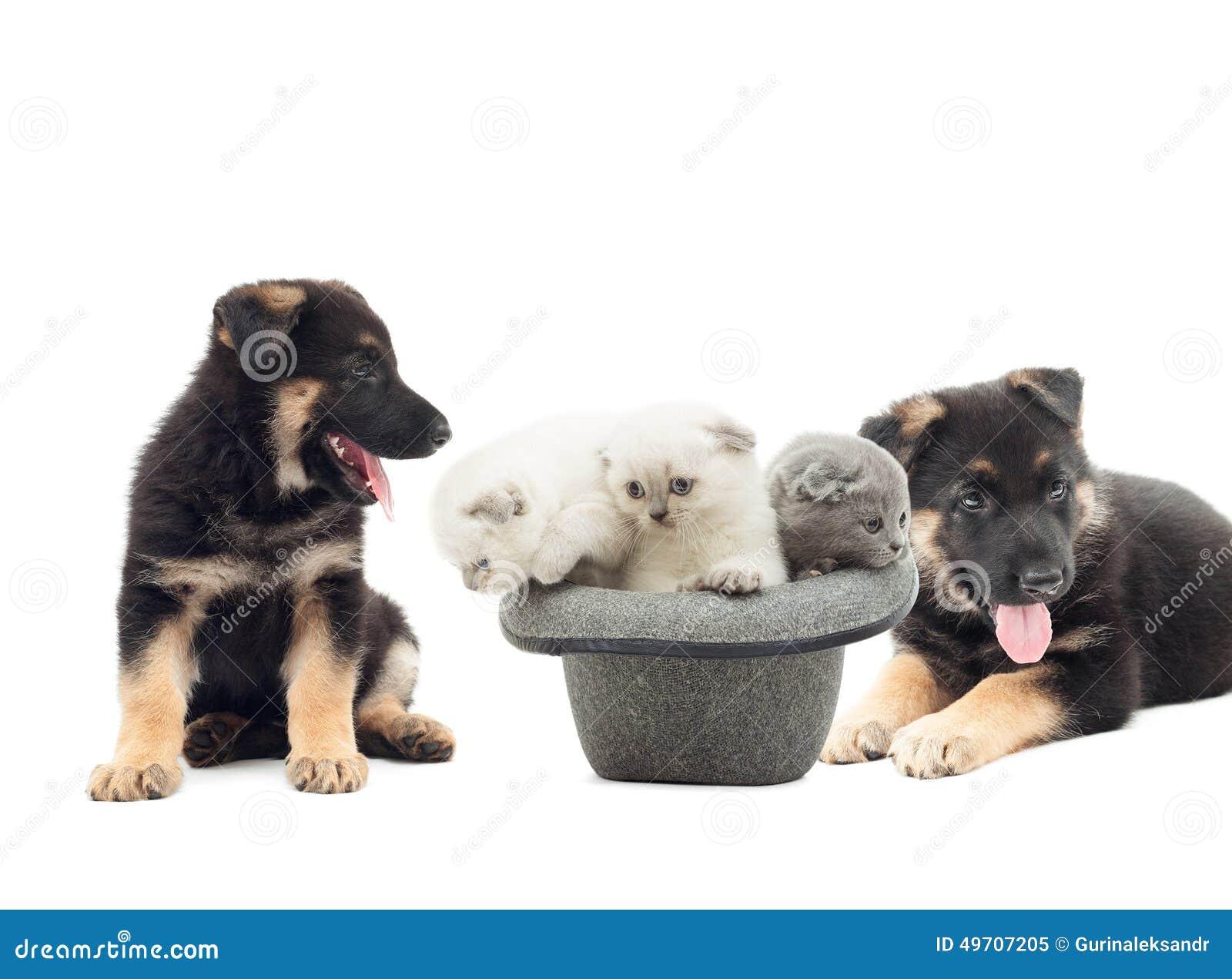 德国牧羊犬小狗和英国折叠小猫