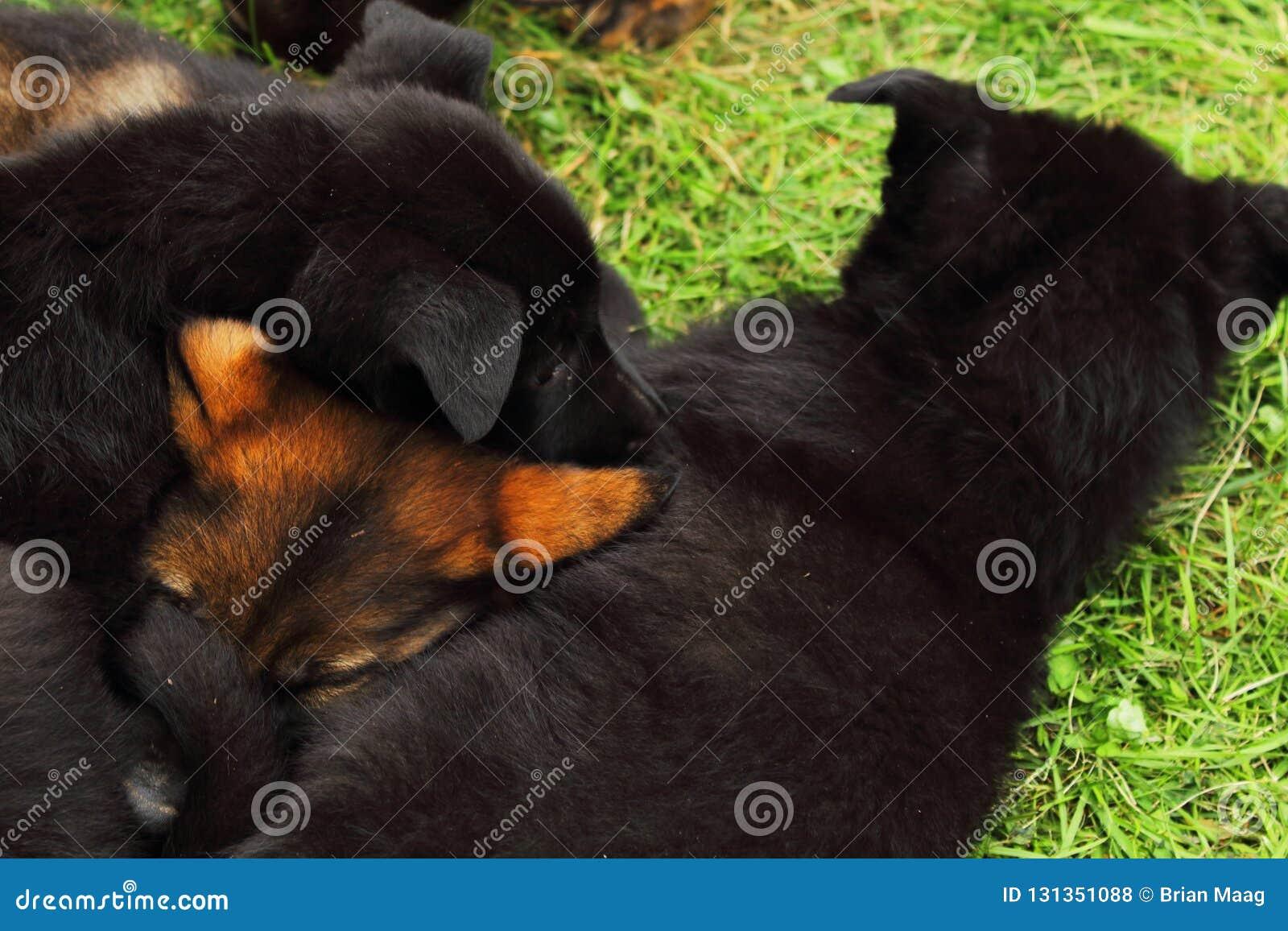 德国牧羊犬小狗2