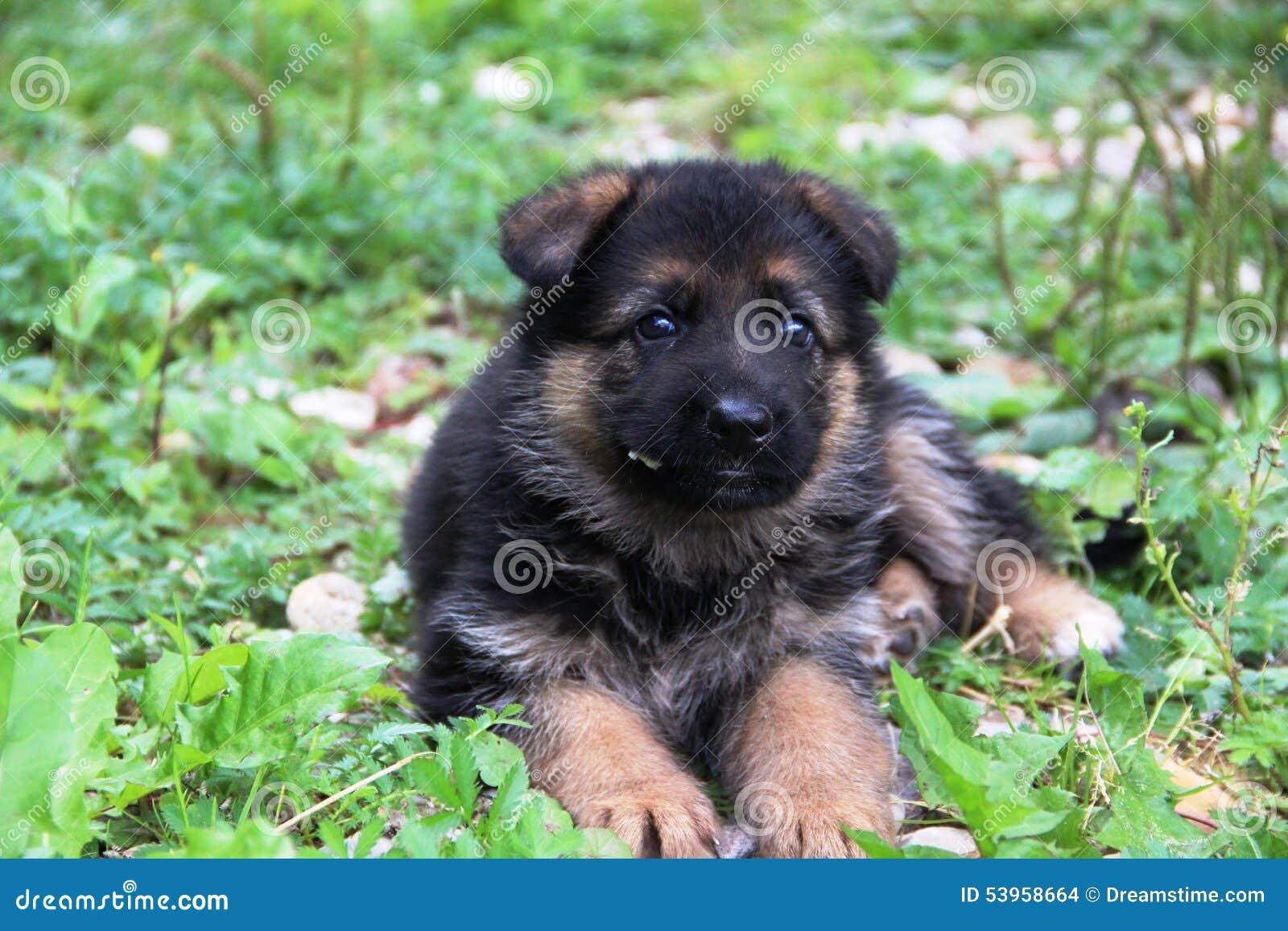 德国牧羊犬小狗