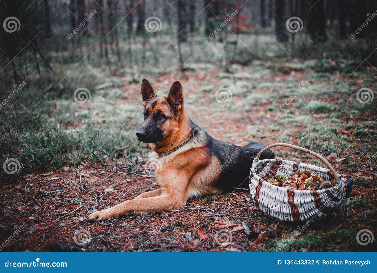 德国牧羊犬是森林
