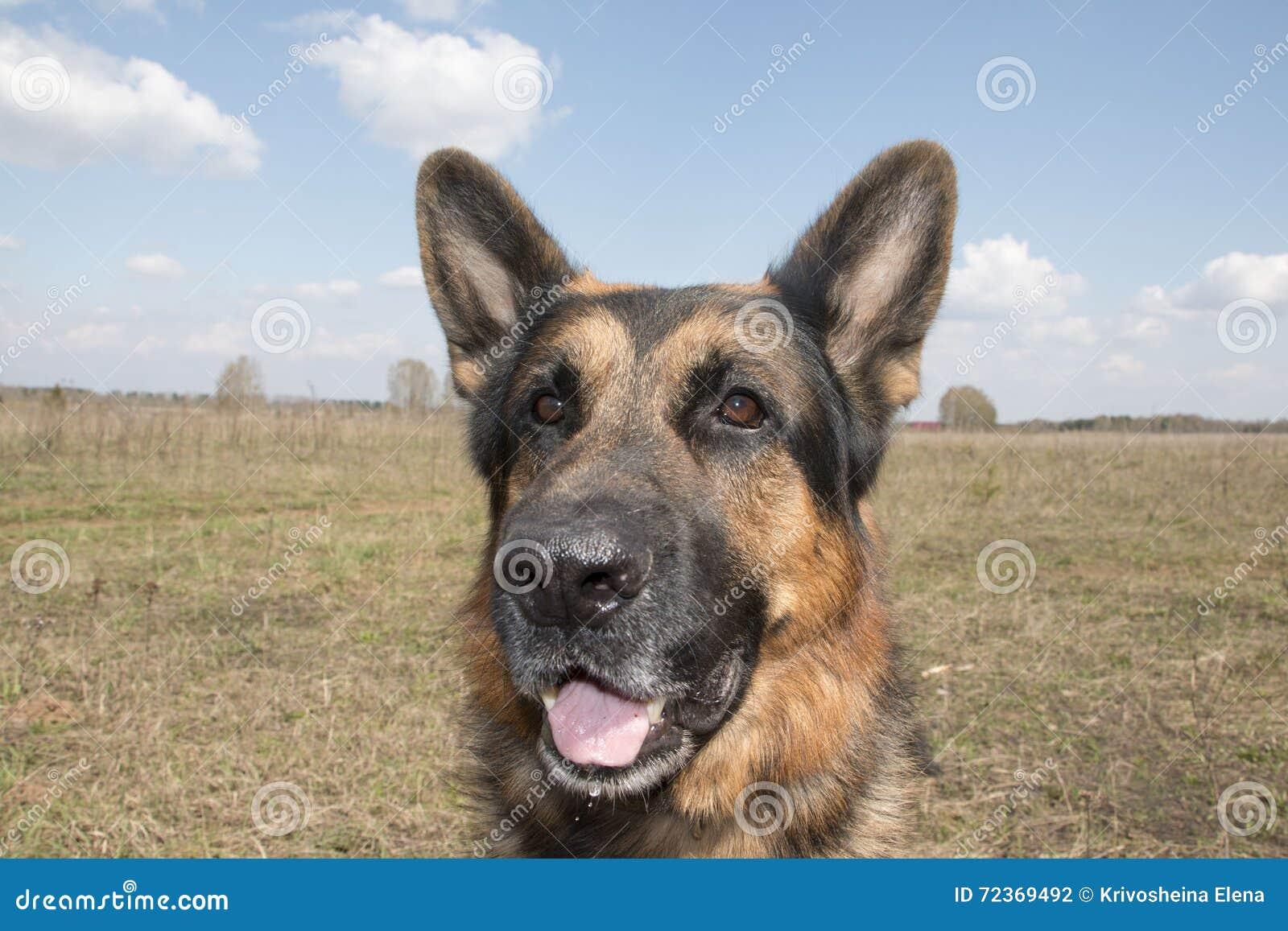 德国牧羊犬狗在晴天