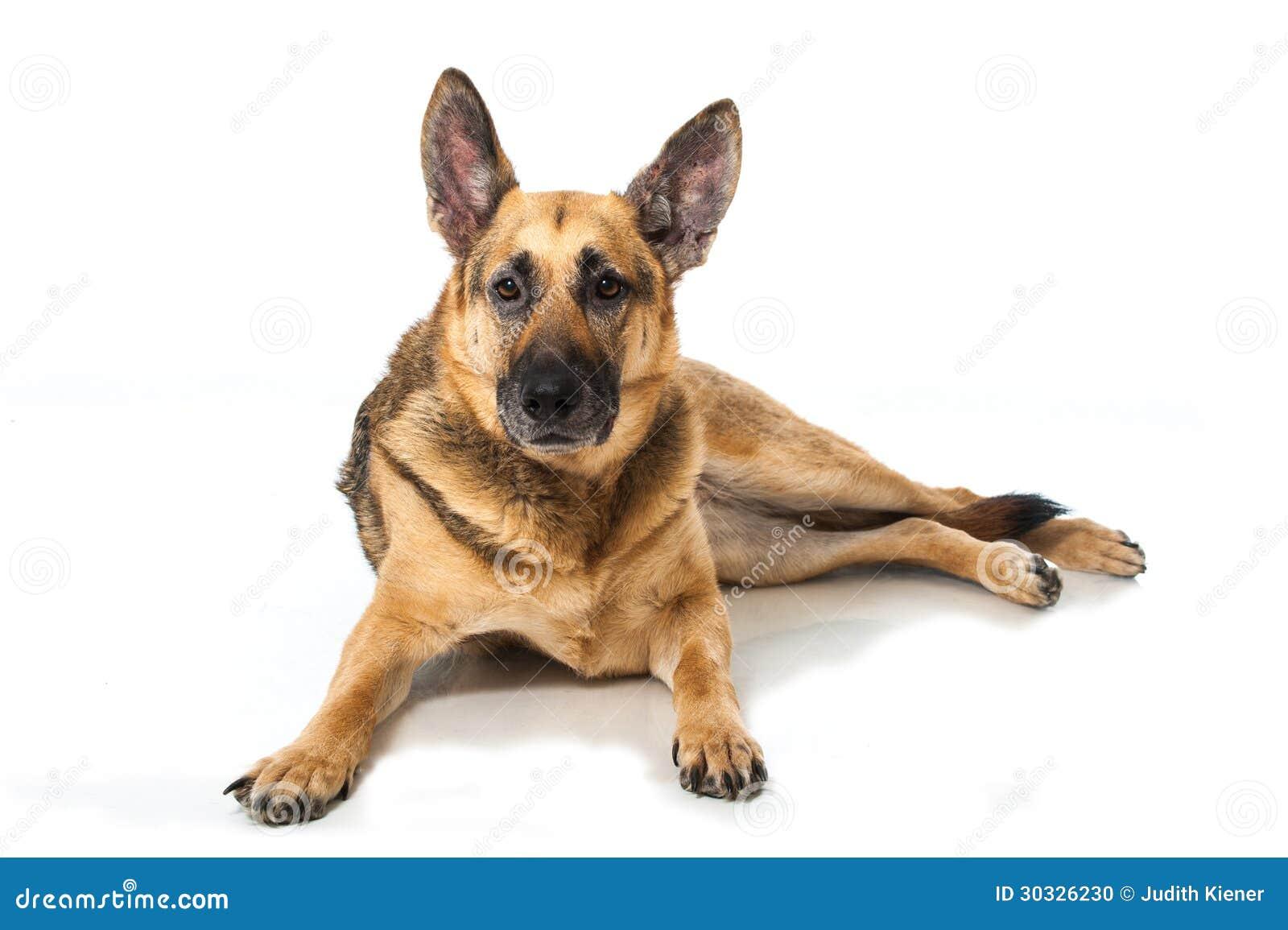德国牧羊犬狗