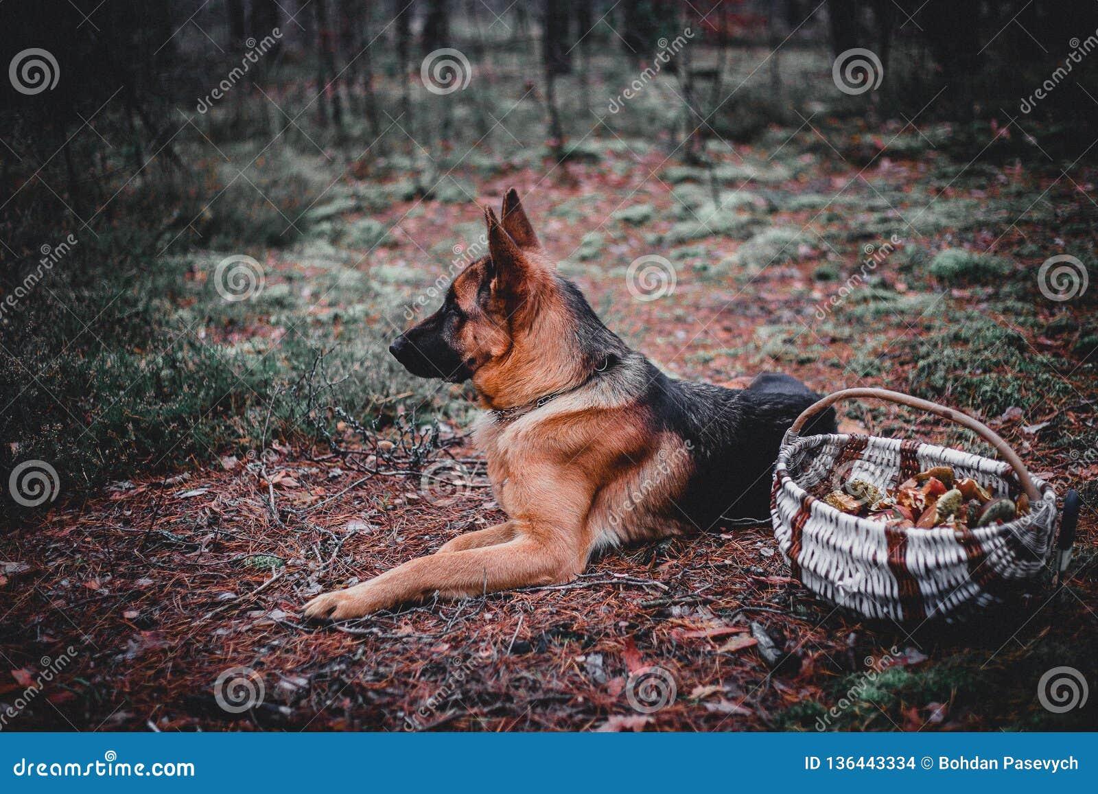 德国牧羊犬2