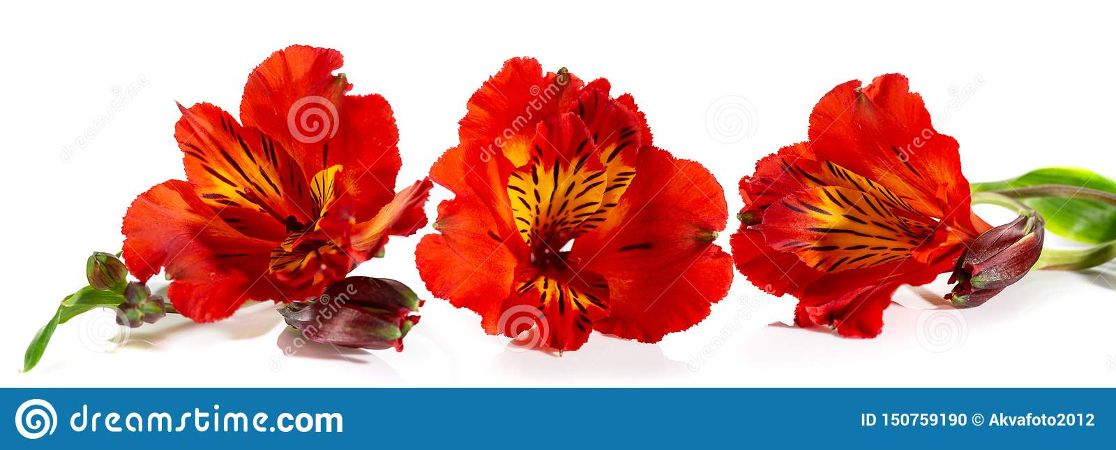 德国锥脚形酒杯美丽的红色花在白色背景的