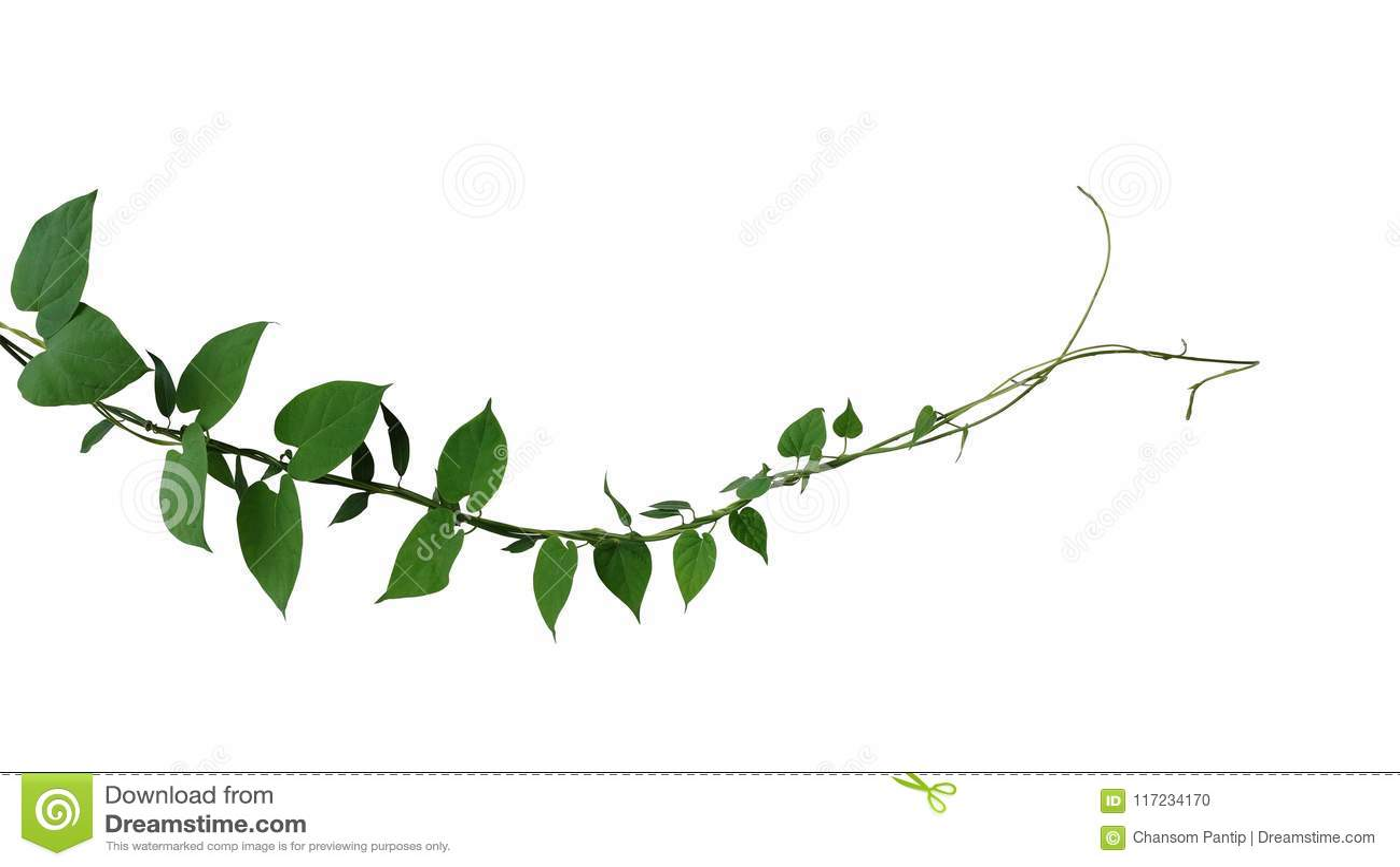 心形的深绿叶子扭转了密林藤藤本植物上升