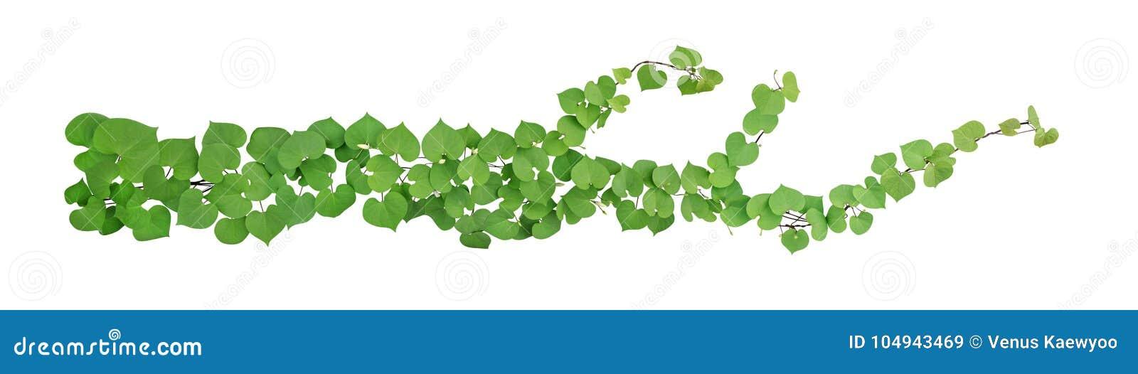 心形的绿色离开与被隔绝的芽花攀缘藤本热带植物在白色背景,包括的裁减路线