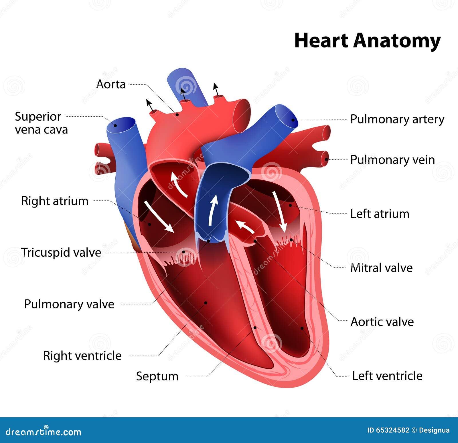 向量例证: 心脏解剖学图片