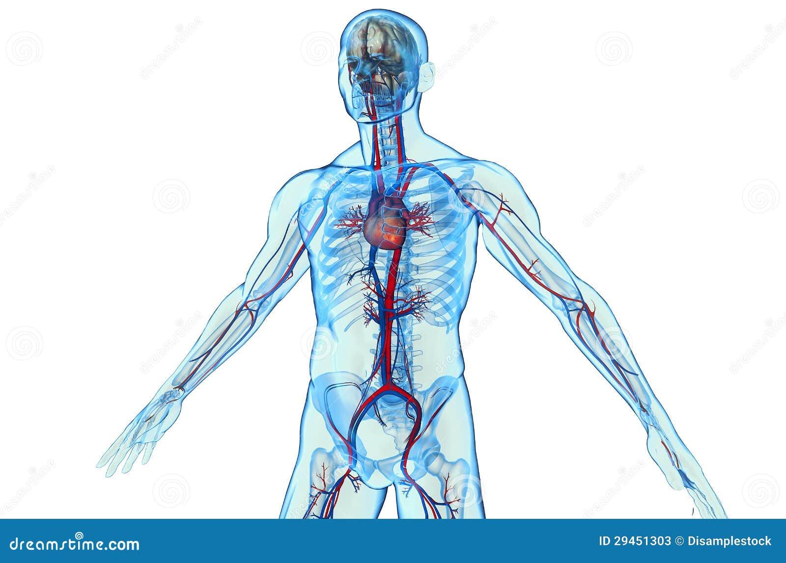 人体系统_与心血管系统的人体.