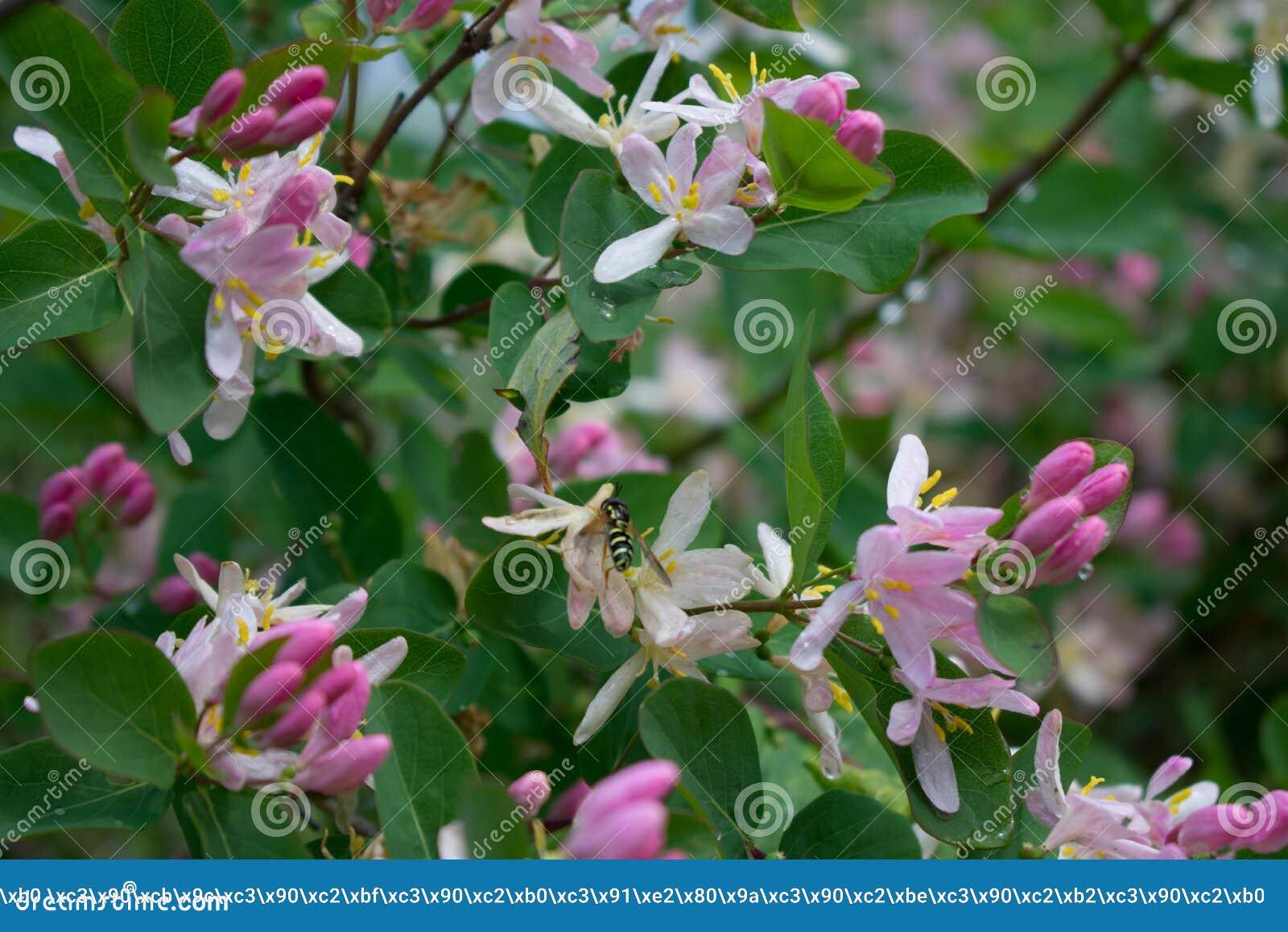 忍冬属korolkowii/忍冬属植物/wasp在花