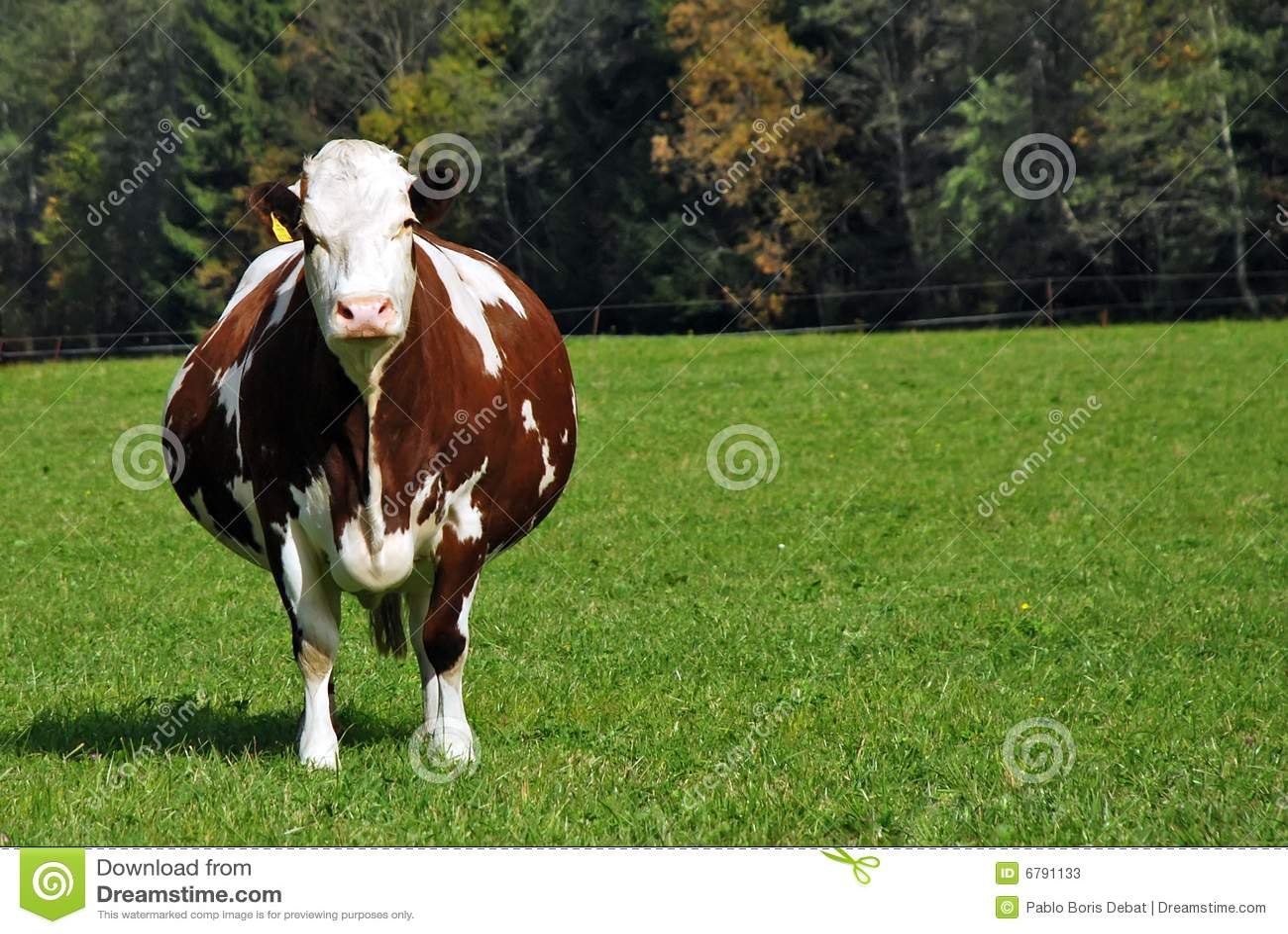 怀孕棕色的母牛