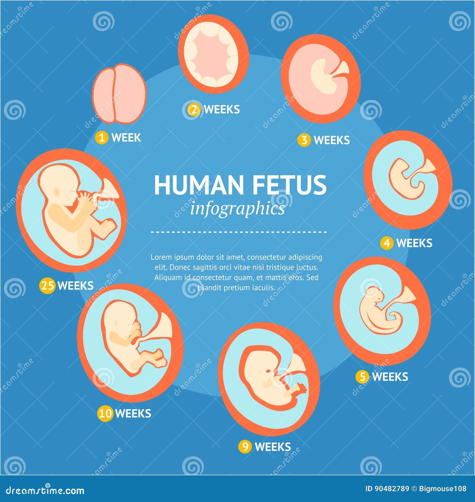 怀孕胎儿成长阶段发展Infographic菜单 向量