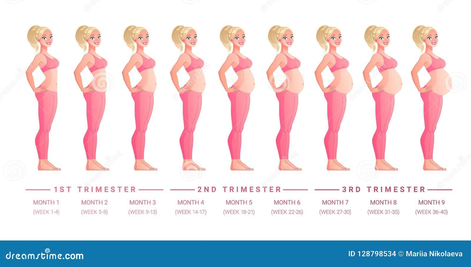怀孕阶段逐月 查出的向量例证