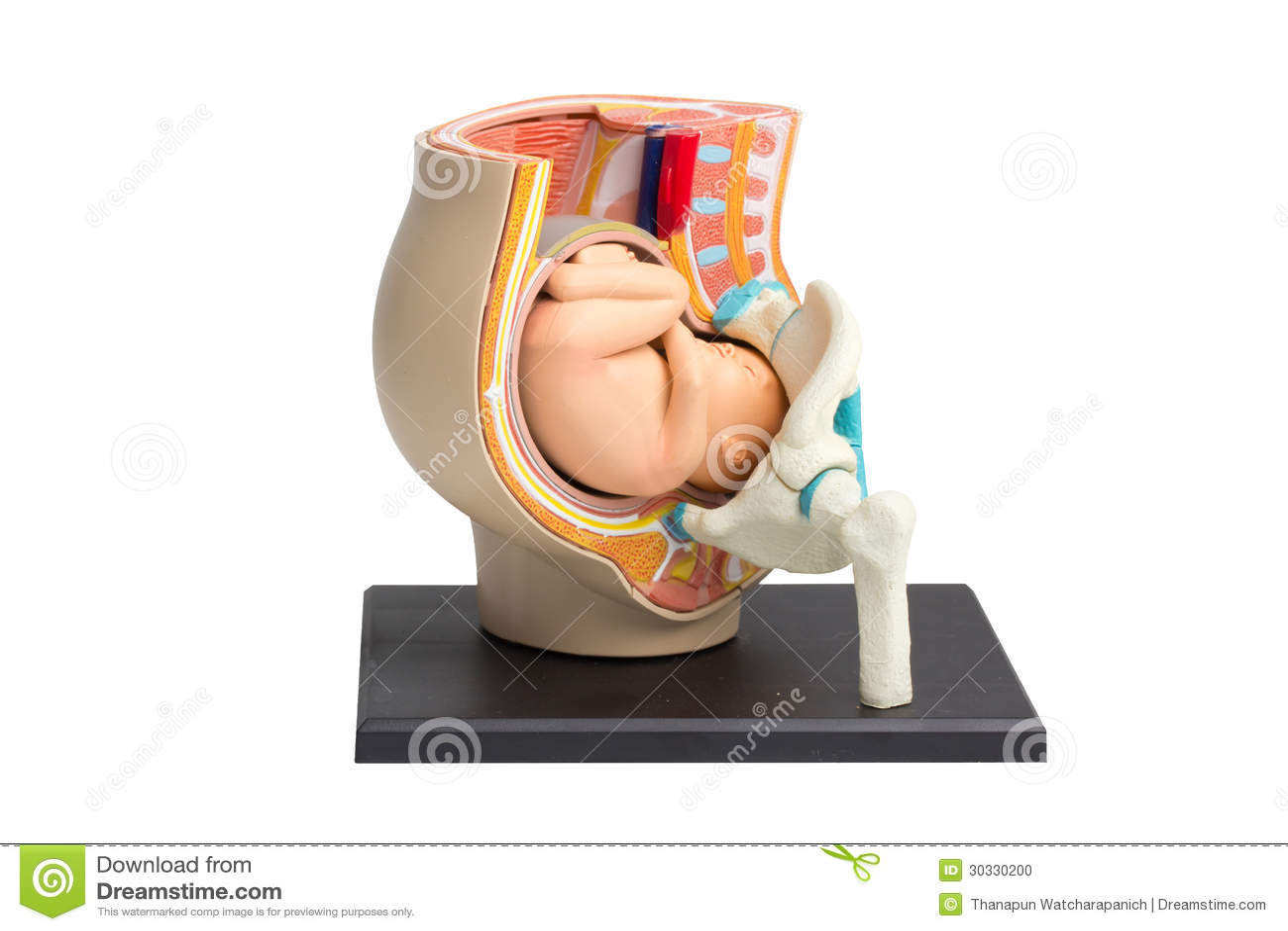 怀孕骨盆在白色背景的解剖学模型与工作轻拍