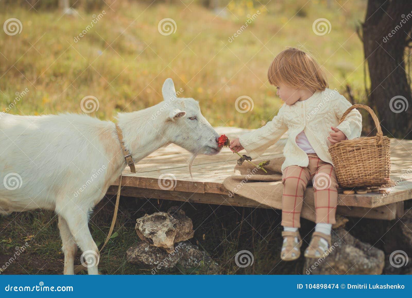 恰好时髦的女孩穿戴在有花费时间的金发的毛线衣在有篮子的村庄哺养动物山羊潜逃的有很多苹果
