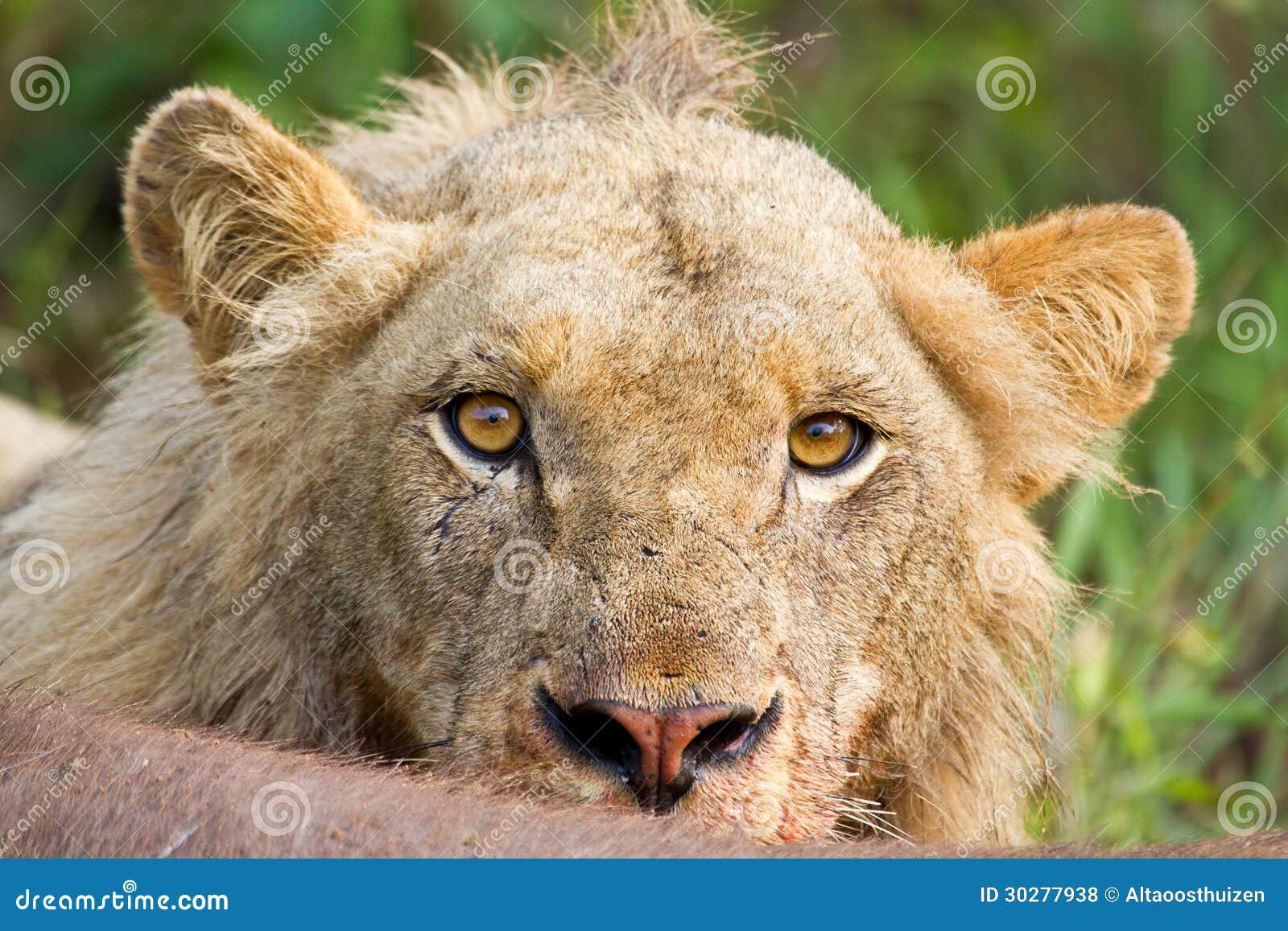恼怒的狮子凝视画象特写镜头生气黄色眼睛