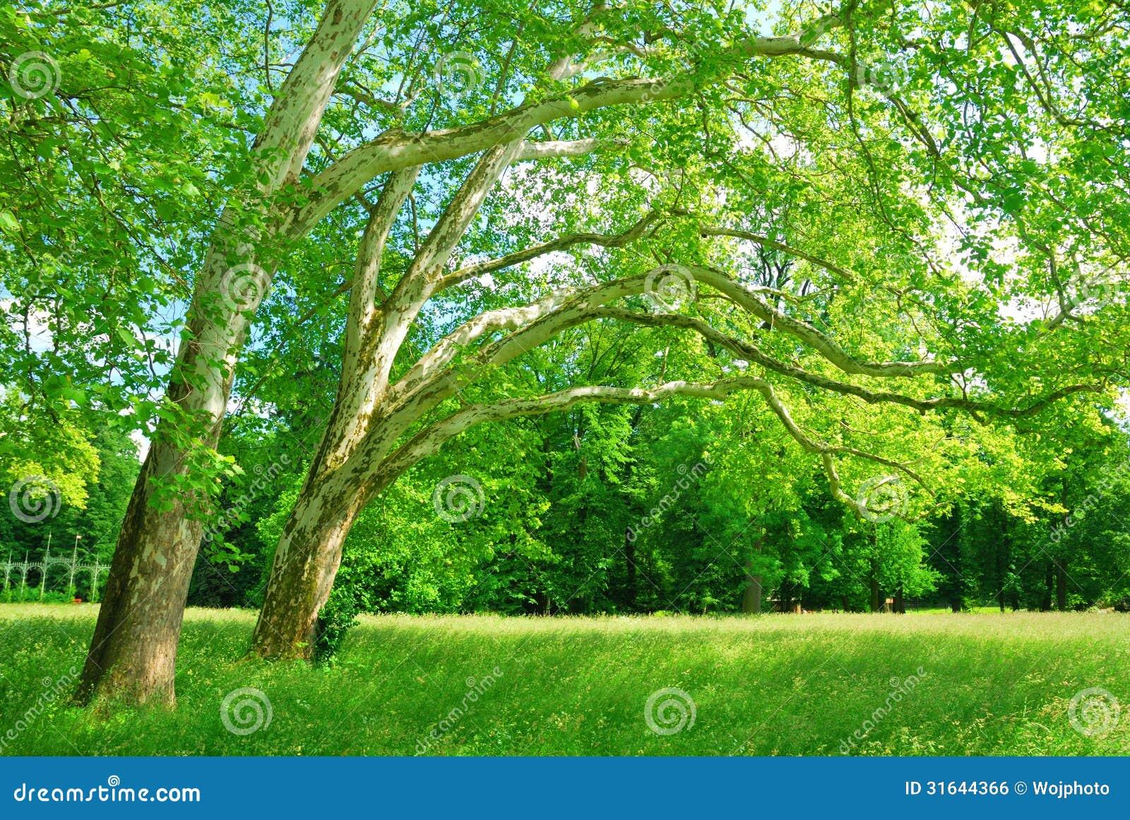 悬铃树树丛春天图片
