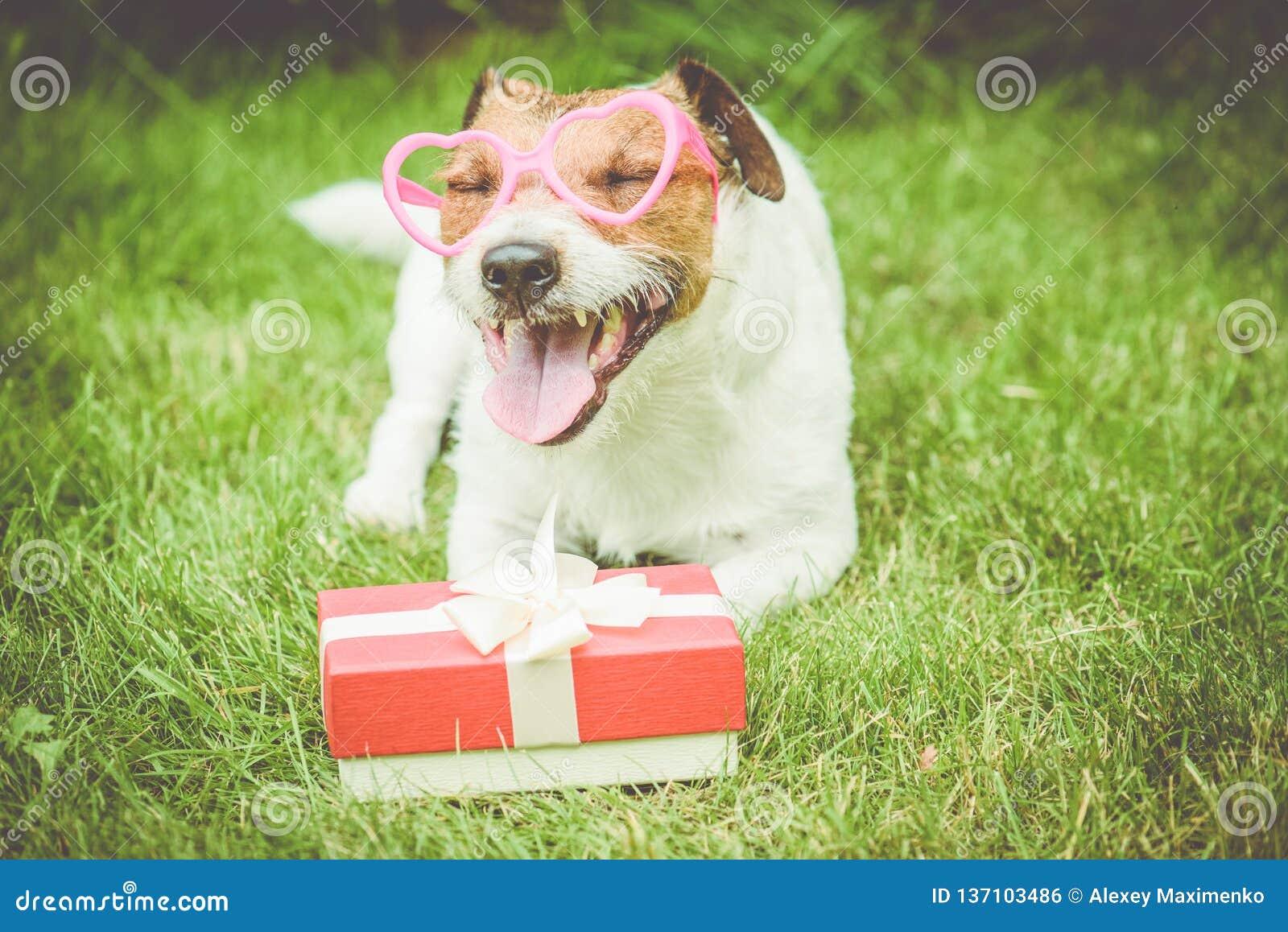 情人节在愉快的狗佩带的心形的玻璃旁边的礼物盒