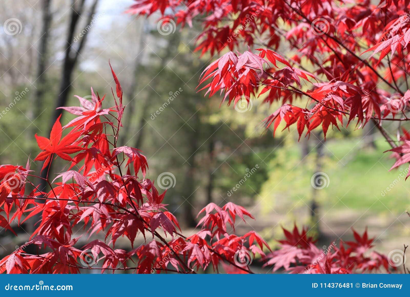 惊人的日本红槭