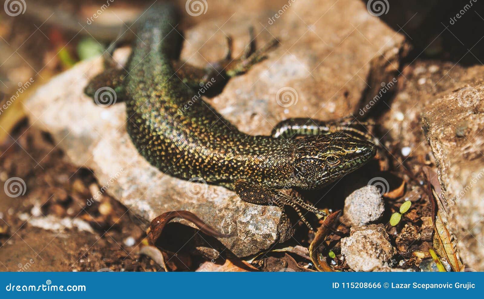 惊人的特写镜头蜥蜴照片