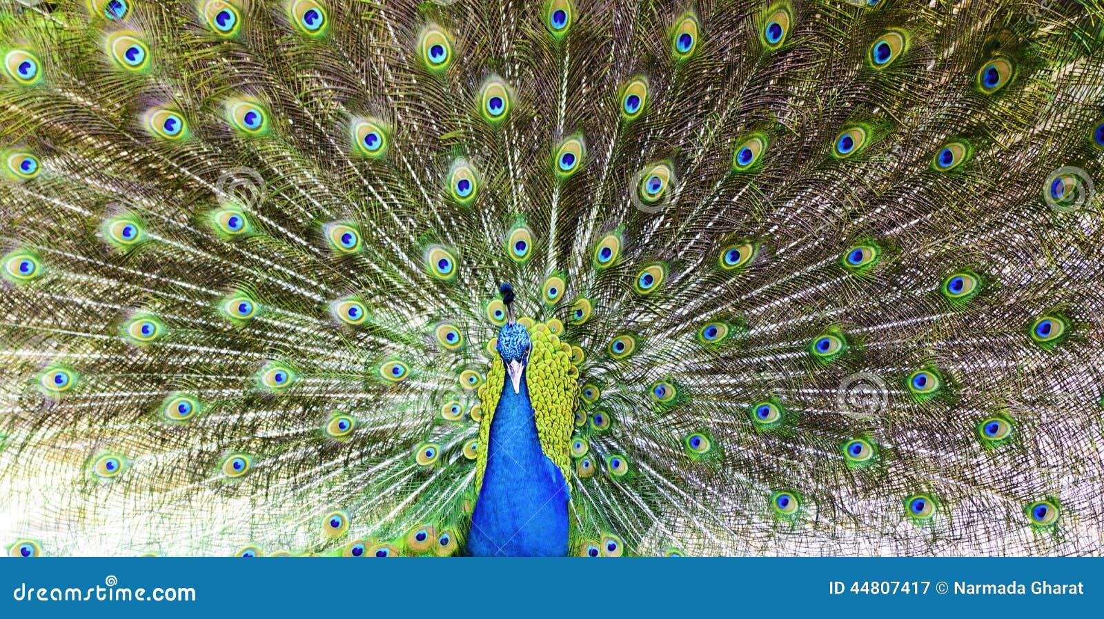 愉快的五颜六色的孔雀