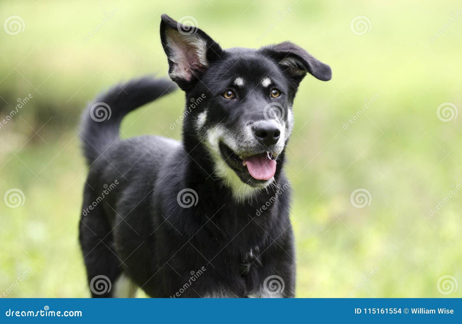 愉快的狗摇摆的尾巴,多壳的牧羊人混合了品种狗,宠物抢救收养摄影