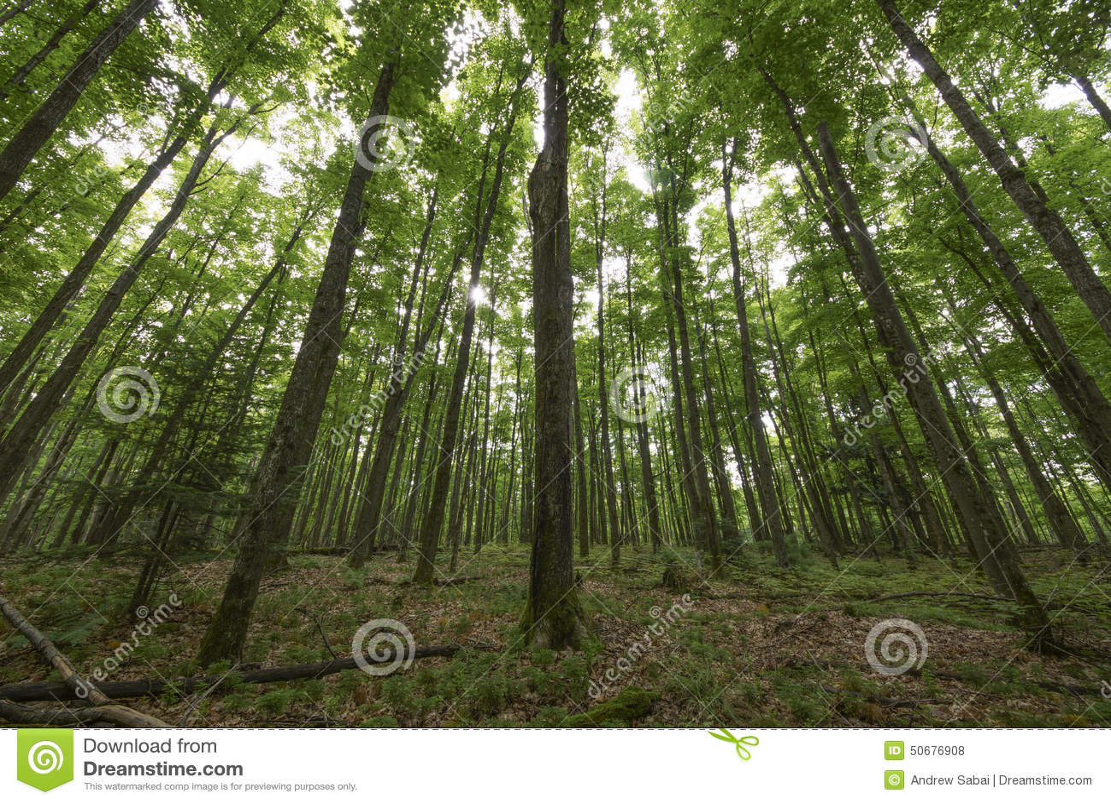 Download 愤怒 库存照片. 图片 包括有 森林, bents, 森林地, 更加恼怒的, 结构树, 透镜, 抽象 - 50676908