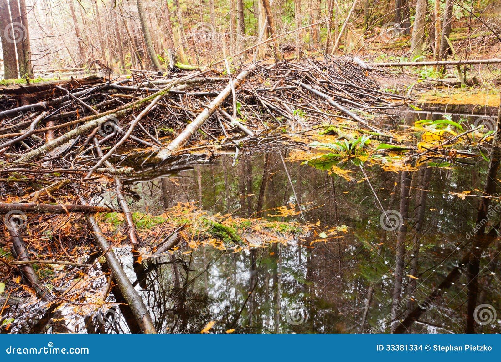 慢慢移动在秋天色的森林沼泽地沼泽的水坝