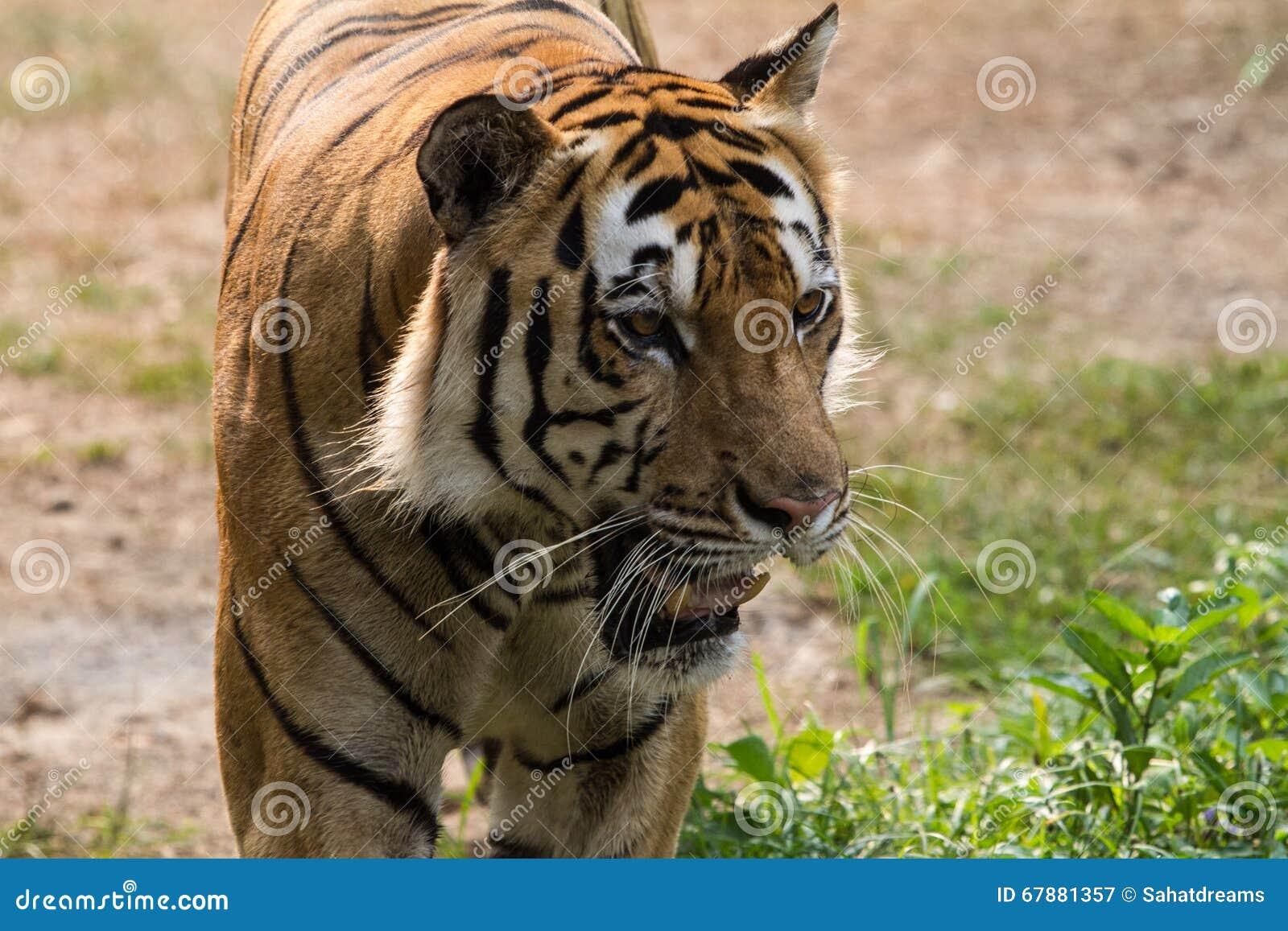 慢苏门答腊老虎步行往照相机