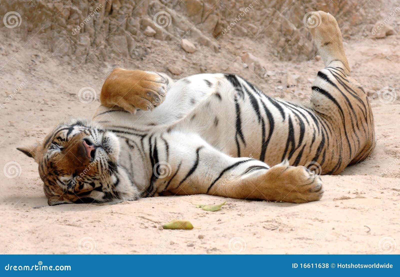 成人亚洲孟加拉猫公休眠泰国老虎
