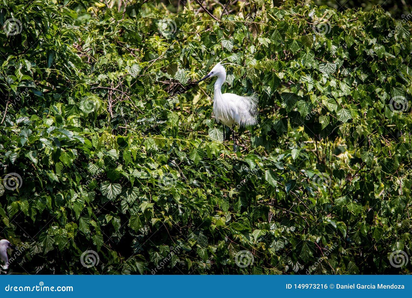 成人在树的鸟白色白鹭属Garzetta 在公园台北市的小白鹭