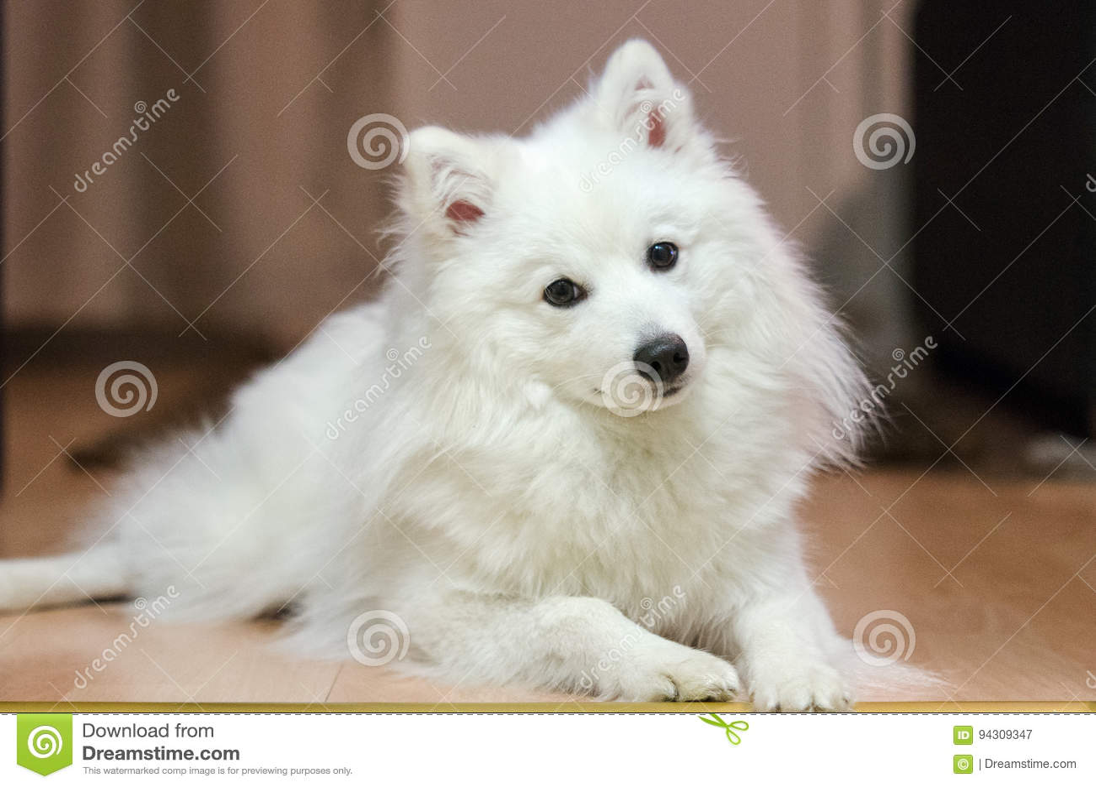成人日本波美丝毛狗