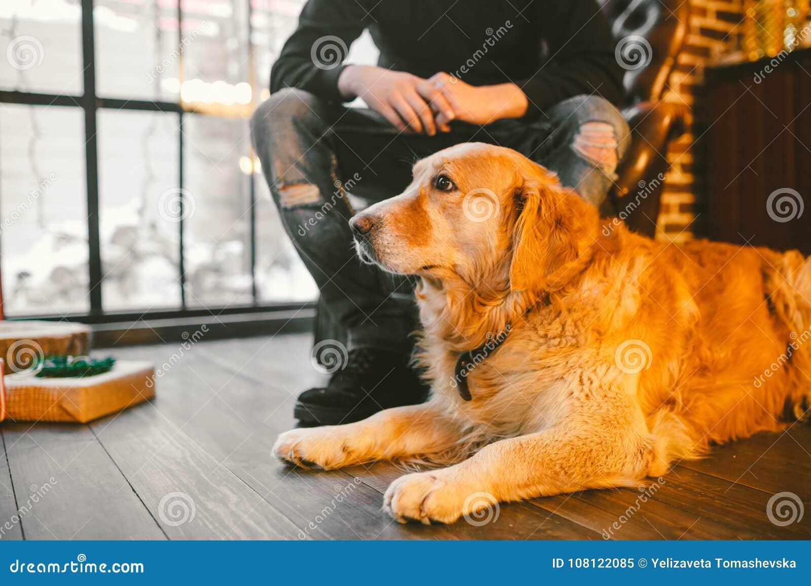 成人狗一只金毛猎犬, abrador在一位公交配动物者的所有者` s腿旁边说谎 在a的房子内部